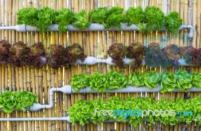 Hydroponic Garden Vegetables