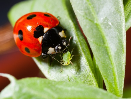 Ladybug Eating Insect