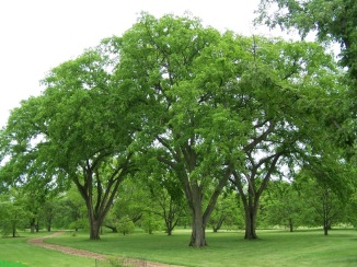 slippery elm tree